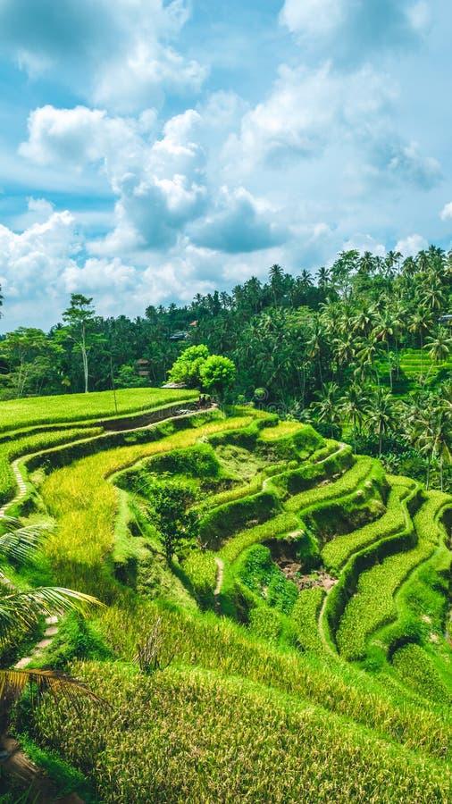 Piovoso commovente si rannuvola il campo stupefacente del terrazzo del riso del tegalalang con le belle palme che crescono in cas immagini stock