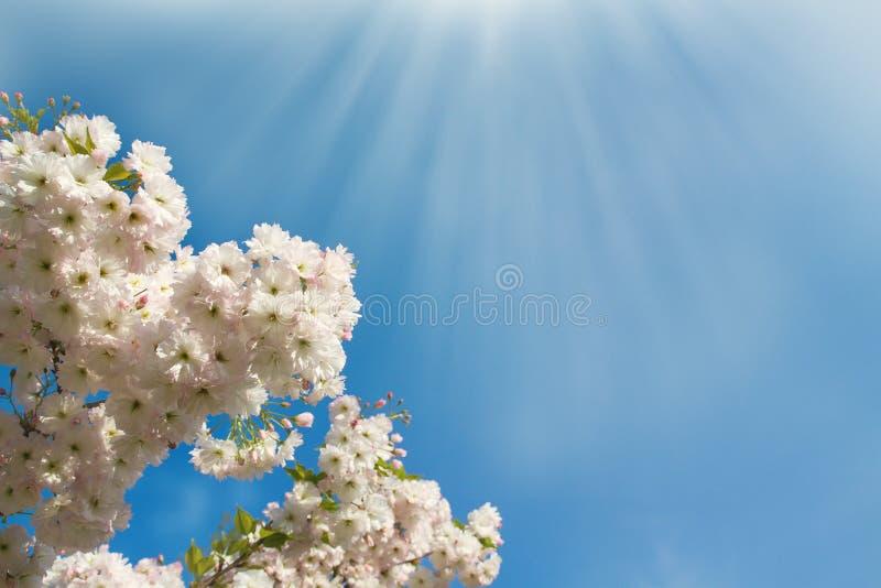 Piovuto appena sopra Fondo astratto del fiore della molla Scena della natura con l'albero di fioritura primavera fotografia stock