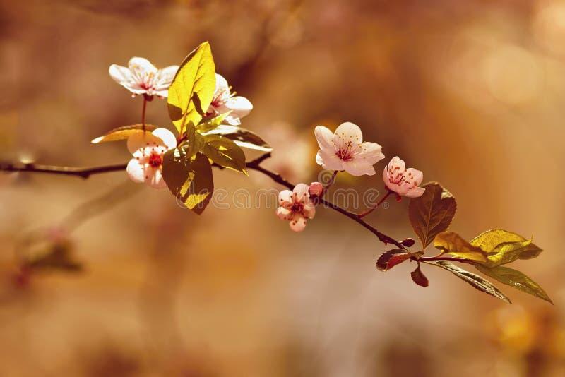Piovuto appena sopra Natura variopinta Concetto stagionale per primavera Ramo di albero meravigliosamente sbocciante Ciliegia - S fotografie stock