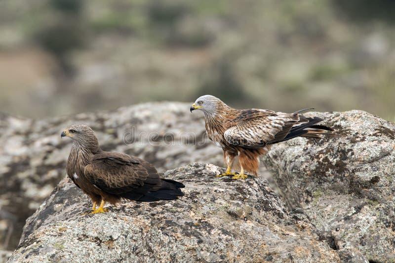 pipa vermelha, Milvus milvus, Black Kite, Milvus migrans em pé foto de stock
