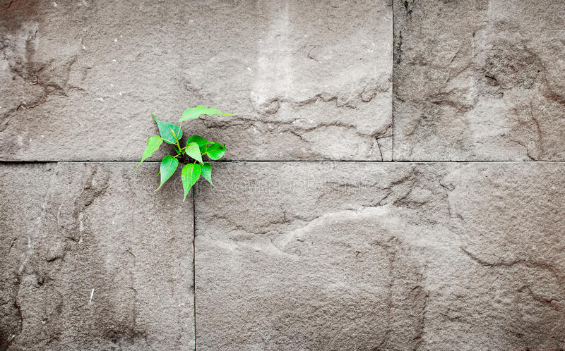 pipal leaf growing through crack in old sand stone wall,survival concept royalty free stock image