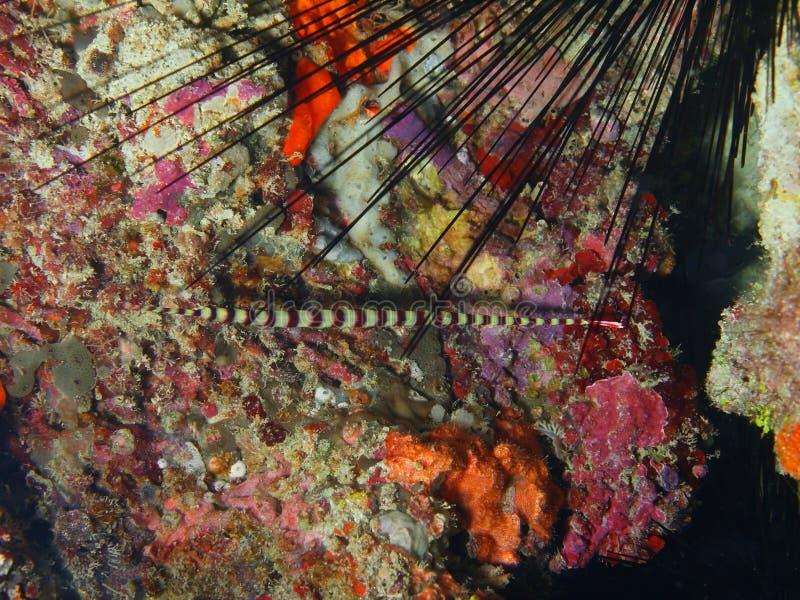 Pipefish foto de stock royalty free