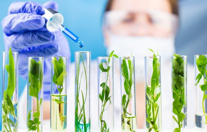Pipeta da posse do cientista com gota líquida azul da água em uns tubos de ensaio com a planta fresca verde foto de stock royalty free