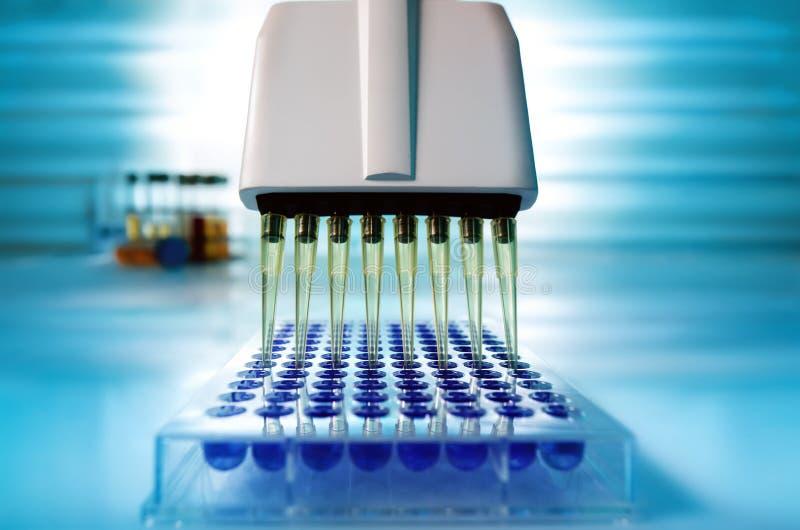 Pipeta multi del canal que carga muestras biológicas en el microplate f imágenes de archivo libres de regalías