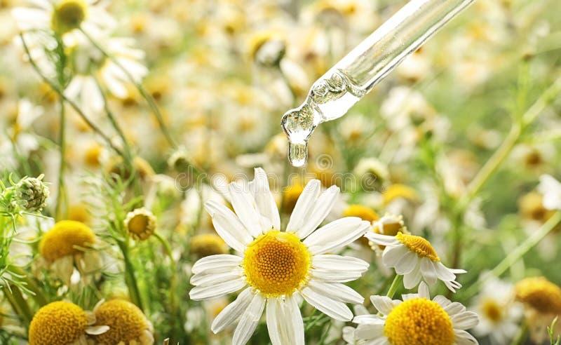 Pipette avec l'huile essentielle d'égoutture au-dessus de la fleur de camomille, plan rapproché photos libres de droits