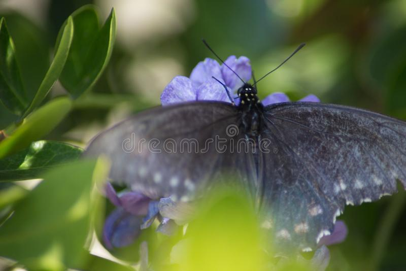 Pipevine Swallowtail蝴蝶涂它的翼 免版税库存照片