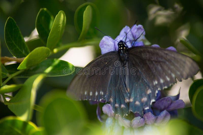 Pipevine Swallowtail蝴蝶涂它的翼 库存照片