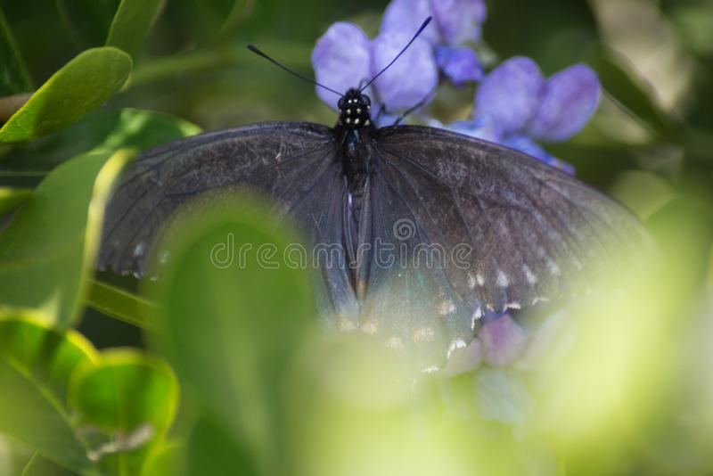 Pipevine Swallowtail蝴蝶涂它的翼 图库摄影