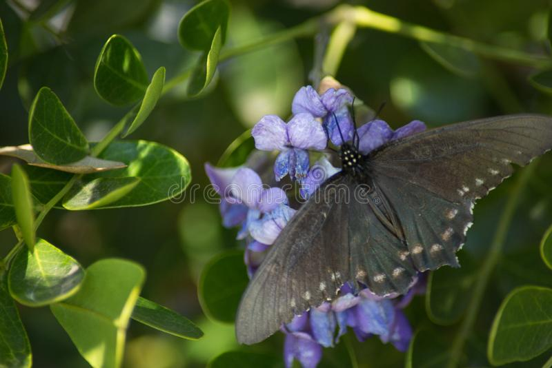 Pipevine Swallowtail蝴蝶涂它的翼 免版税图库摄影