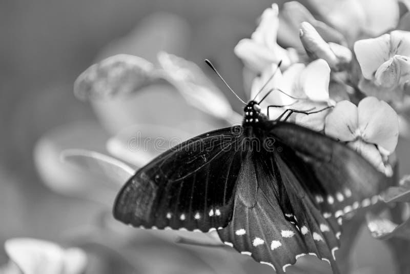 Pipevine Swallowtail蝴蝶涂它的翼 库存图片