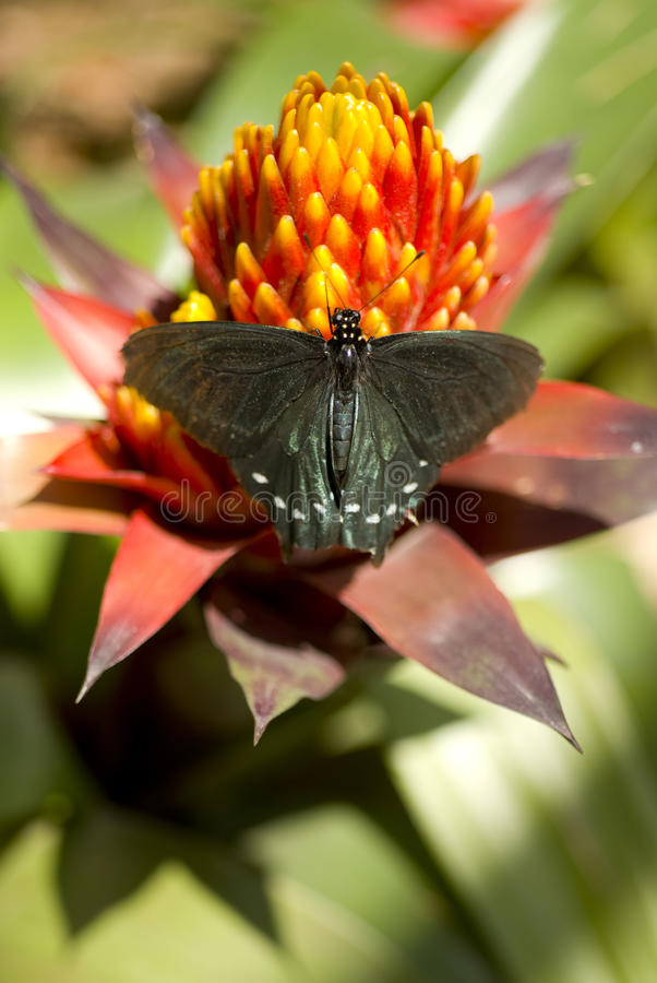 Pipevine Swallowtail Butterfly Sits Colors Garden royalty free stock photo