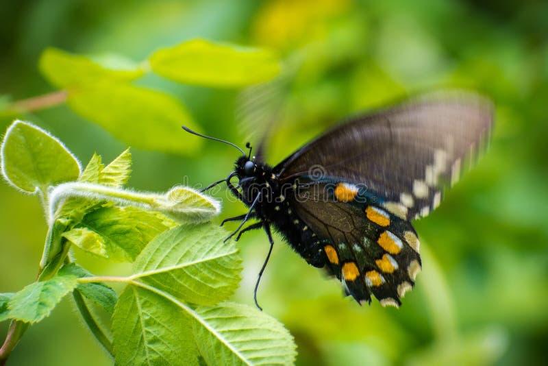 Pipevine Swallowtail Battus philenor蝴蝶 免版税图库摄影