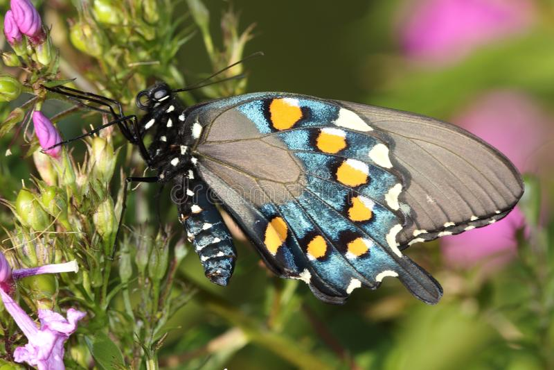 Pipevine Swallowtail Battus philenorfjäril royaltyfri foto