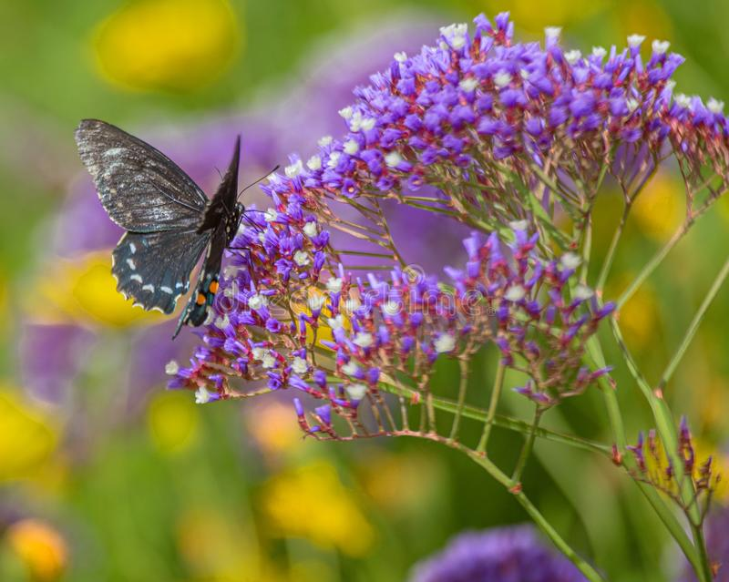 Pipevine Swallowtail Butterfly on Purple Nectar Flowers in Arizona Desert #3. Natural Beauty royalty free stock photography
