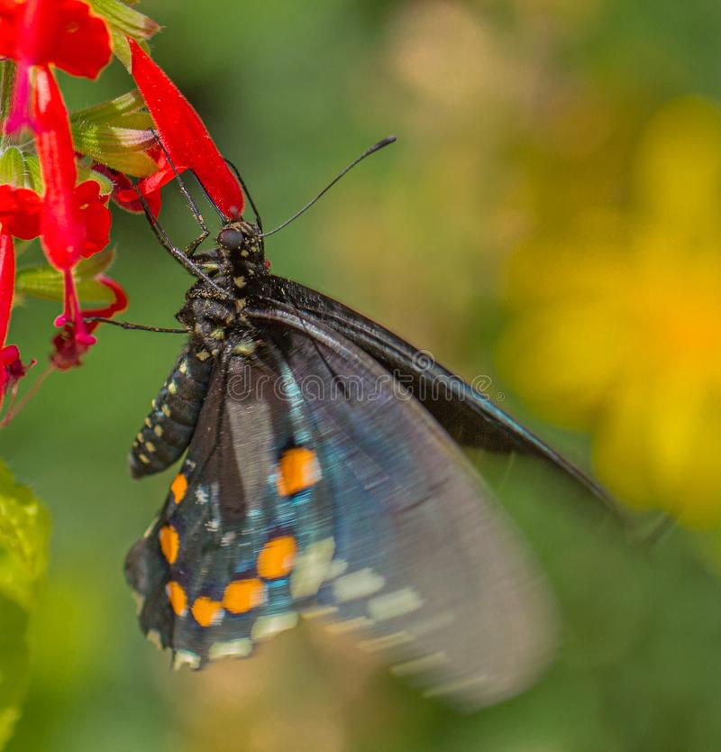 PIPEVINE SWALLOWTAIL Butterfly at Red Salvia Flower in Arizona Desert. Natural beauty royalty free stock images