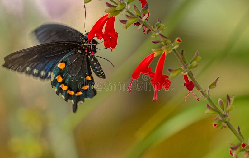 PIPEVINE SWALLOWTAIL Butterfly at Red Salvia Flower, Arizona Desert. Natural beauty royalty free stock image