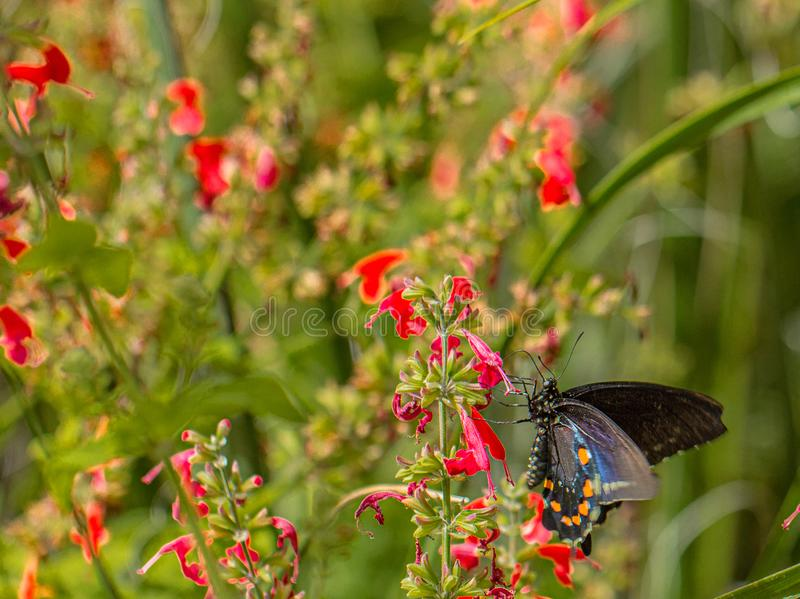 Pipevine Swallowtail Butterfly on Red Salvia Flowers in Arizona Desert. Natural beauty royalty free stock photography