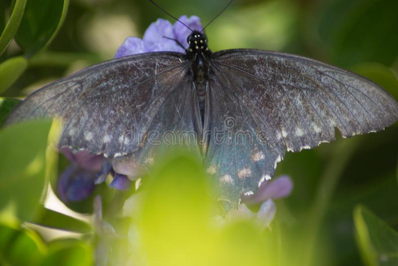A Pipevine Swallowtail Butterfly Spreads its Wings stock photo