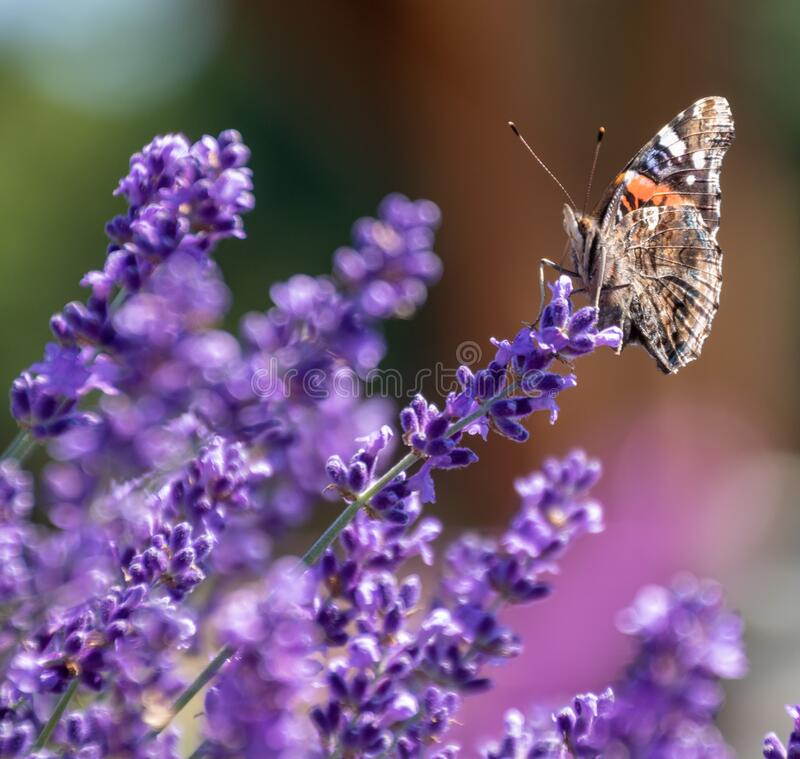 Pipevine Swallowtail Butterfly suckling on French Lavender. Plants. Up close shot of butterfly and lavender with blurred background. Colorful mother nature with royalty free stock images