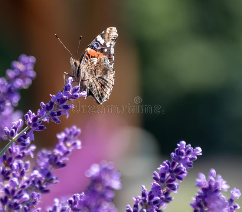 Pipevine Swallowtail Butterfly suckling on French Lavender. Plants. Up close shot of butterfly and lavender with blurred background. Colorful mother nature with royalty free stock photography