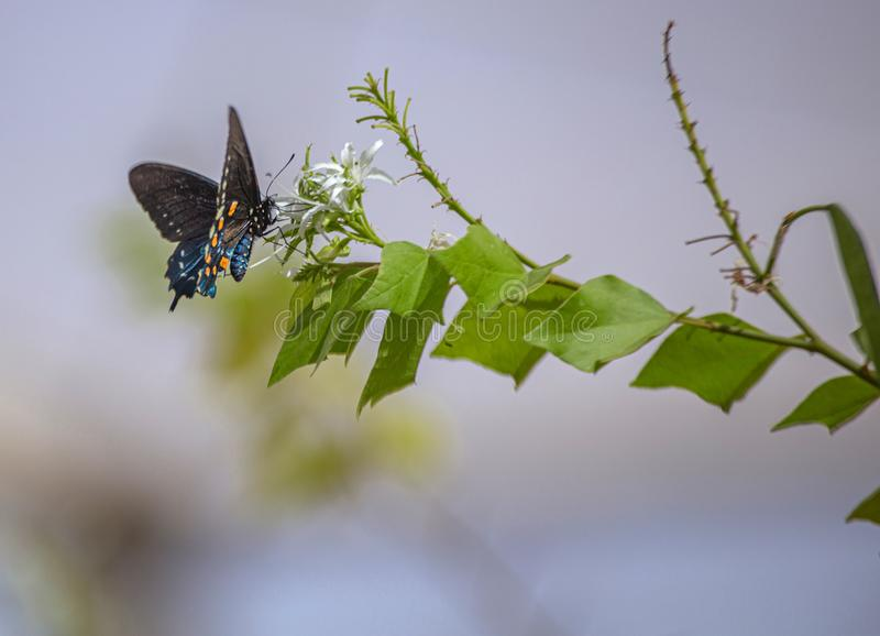 Pipevine Swallowtail Butterfly on White Nectar Flowers in Arizona Desert. Natural Beauty royalty free stock image