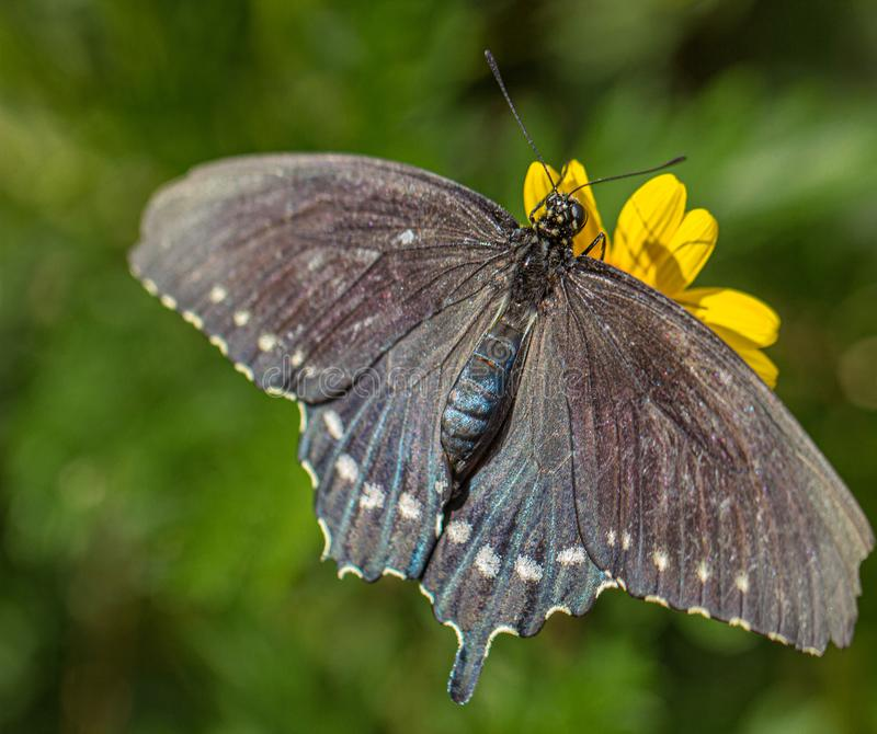 PIPEVINE SWALLOWTAIL Butterfly at Yellow Flower in Arizona Desert. Natural beauty royalty free stock photo