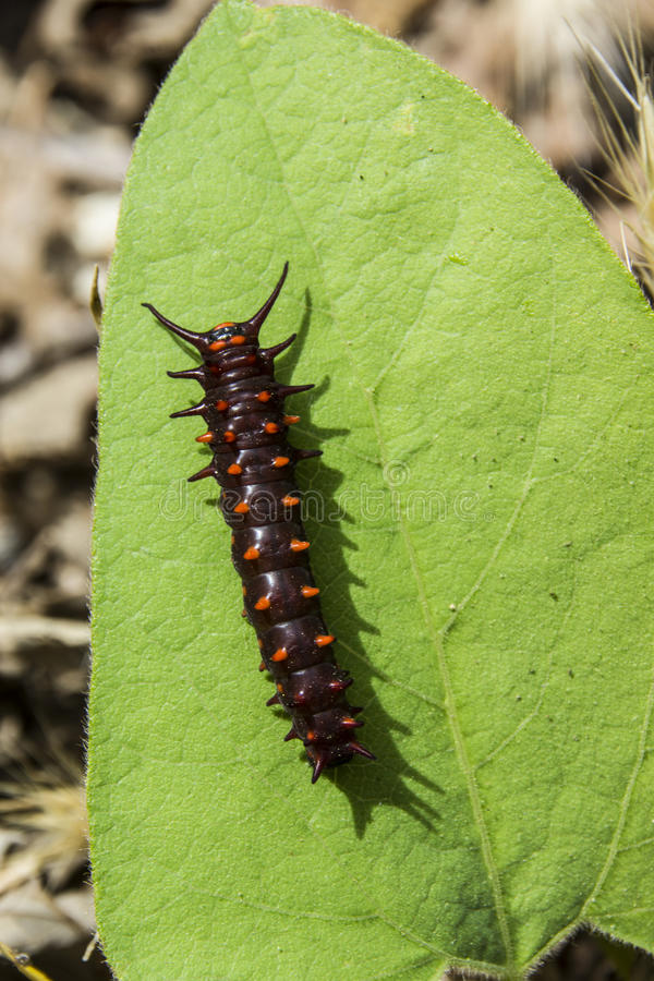 Pipevine Swallowtail Caterpillar stock foto