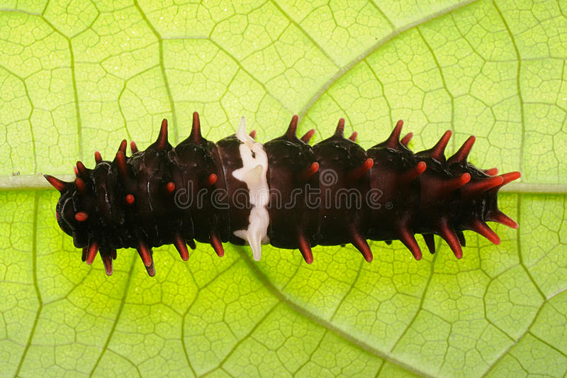 Pipevine Swallowtail Caterpillar royalty-vrije stock foto's