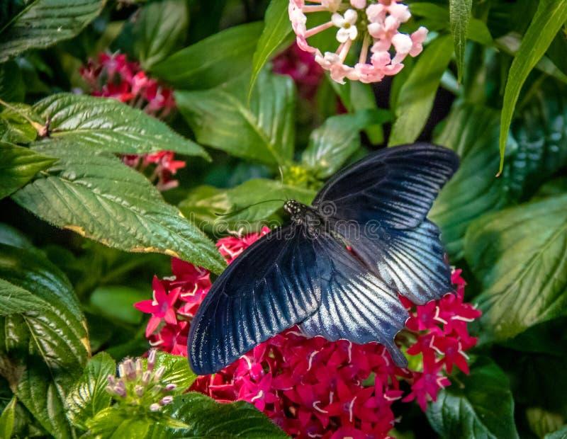Pipevine Swallowtail fjäril arkivfoton