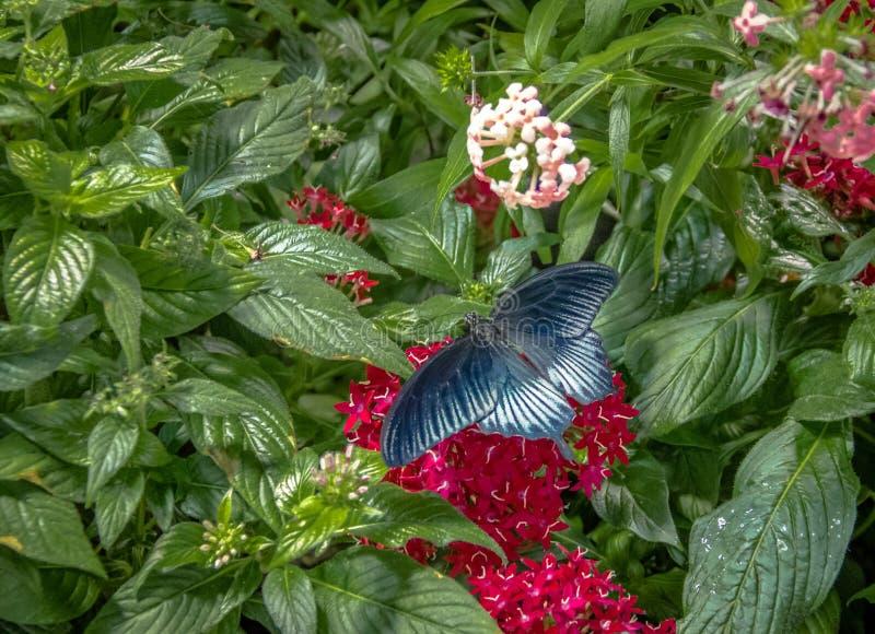 Pipevine Swallowtail fjäril arkivbilder