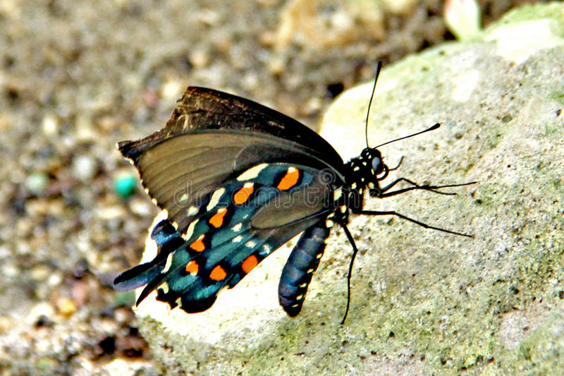 Pipevine Swallowtail fjäril fotografering för bildbyråer