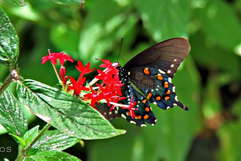 Pipevine Swallowtail fjäril royaltyfri bild