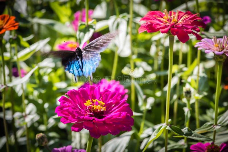 Pipevine Swallowtail fjäril i flykten arkivfoton