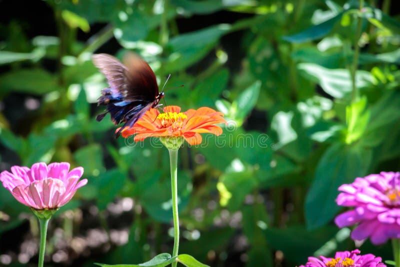 Pipevine Swallowtail fjäril på en orange blomma arkivfoto