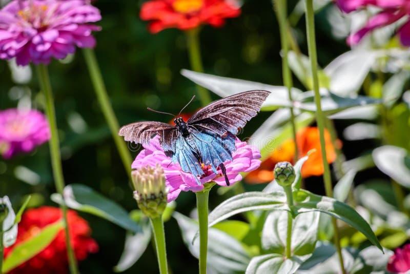 Pipevine Swallowtail fjäril på en rosa blomma arkivfoton