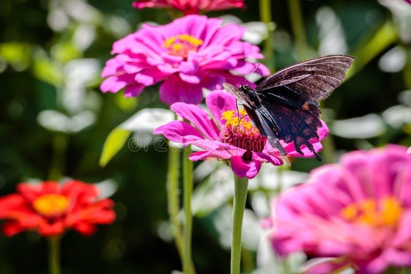 Pipevine Swallowtail fjäril på en rosa blomma arkivfoto