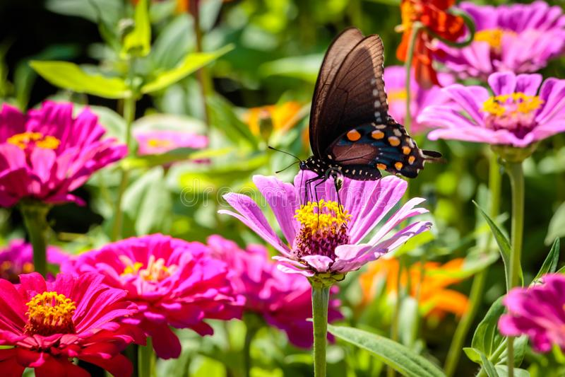 Pipevine Swallowtail fjäril på en rosa blomma royaltyfri fotografi