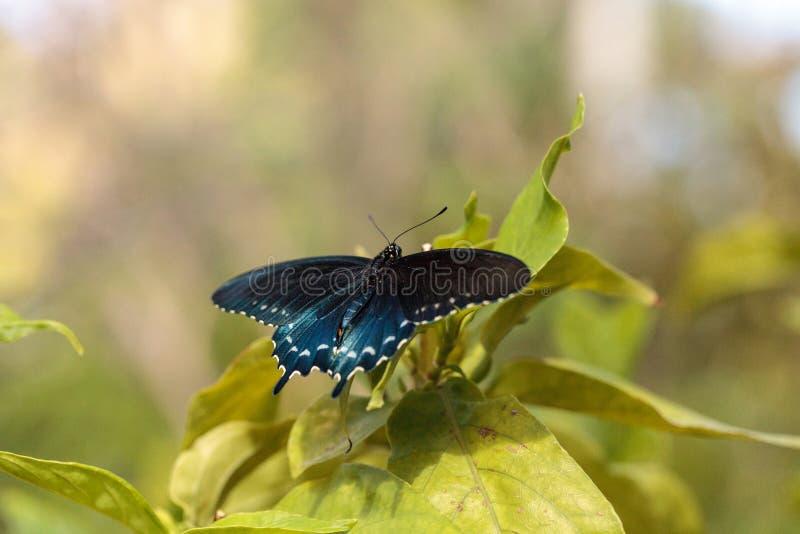 Pipevine Swallowtail fjärilsBattus philenor arkivbild