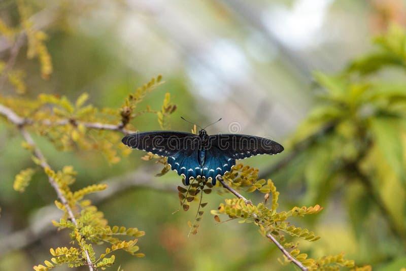 Pipevine Swallowtail fjärilsBattus philenor arkivbilder