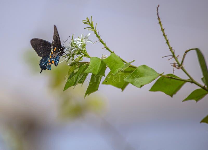 Pipevine Swallowtail motyl na Białym nektarze Kwitnie w Arizona pustyni obraz royalty free