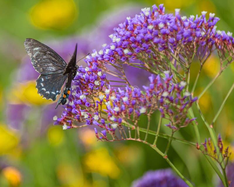 Pipevine Swallowtail motyl na Purpurowych nektarów kwiatach w Arizona pustyni -3 fotografia royalty free