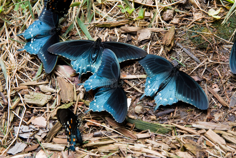 pipevine swallowtail motyla zdjęcie stock