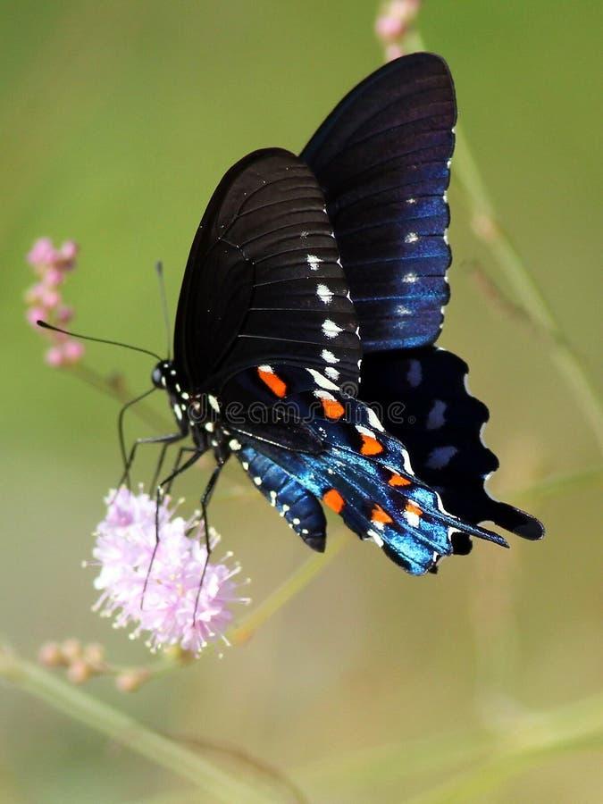 Pipevine Swallowtail w Meksyk fotografia stock