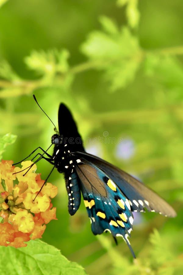 Pipevinevlinder in een mooie tuin royalty-vrije stock afbeeldingen