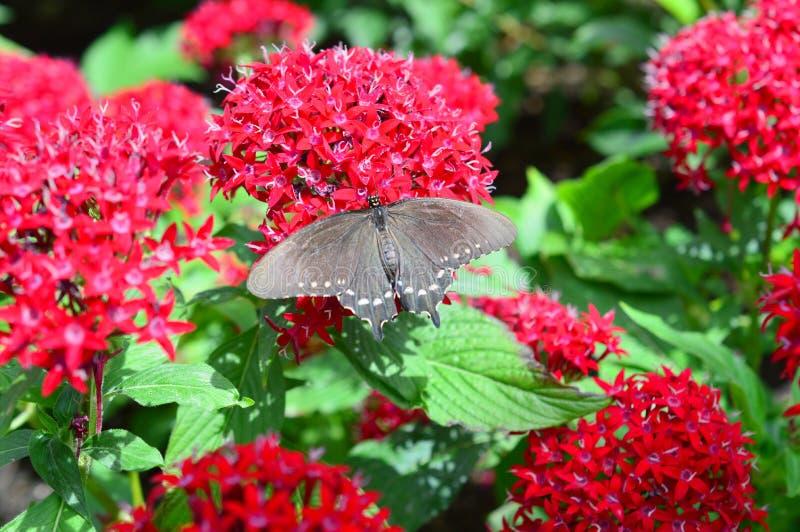 Pipewine Swallowtail motyl fotografia royalty free