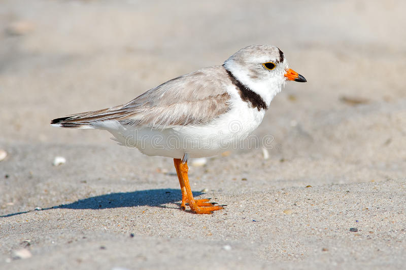 Download Piping Plover stock photo. Image of cape, beach, water - 25110280