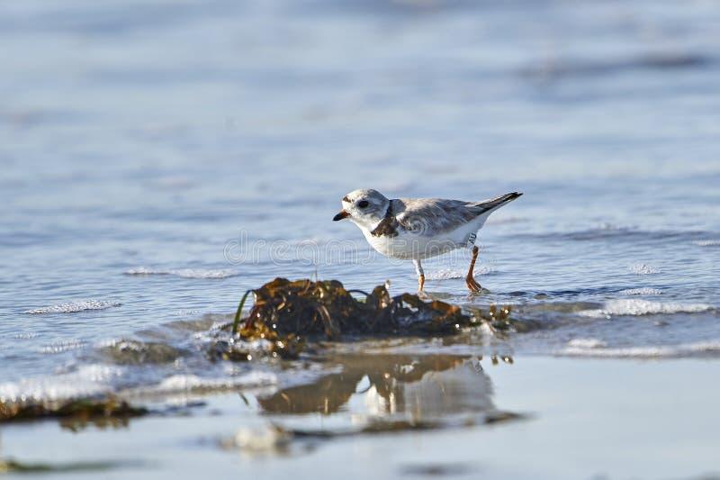 Piping Plover Charadrius melodus-foder på stranden arkivfoto
