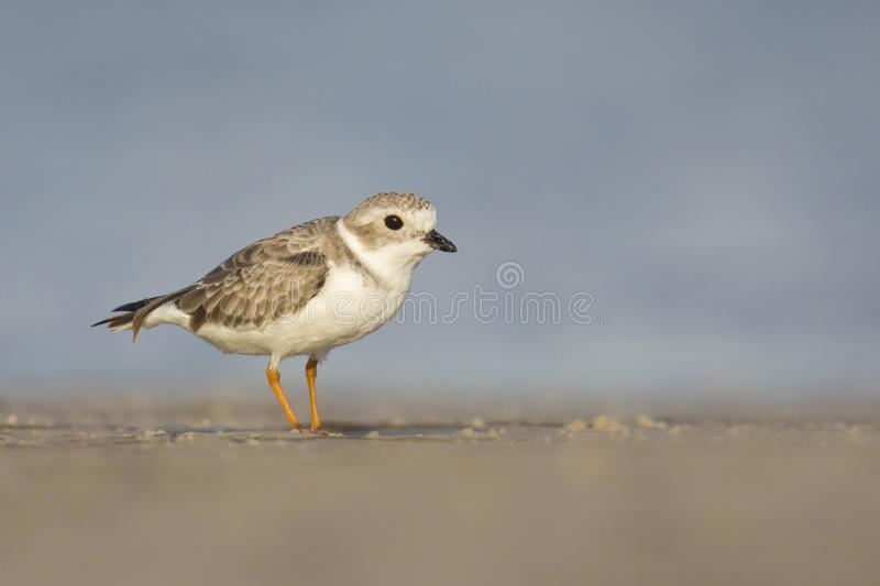 Download Piping Plover (Charadrius Melodus) Royalty Free Stock Images - Image: 34928329