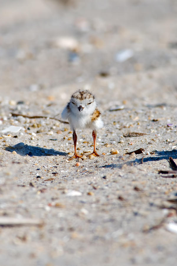 Piping Plover Chick On Beach. Piping Plover chick standing on the Beach in Cape May, NJ royalty free stock image