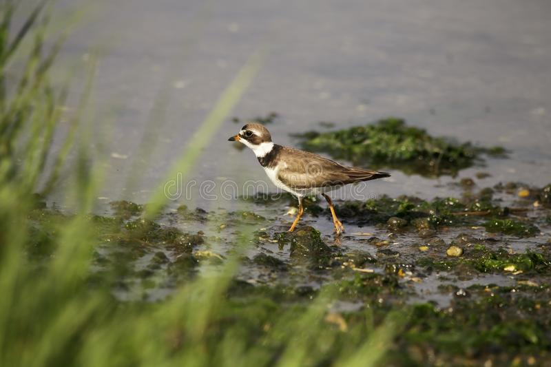 Piping Plover walking on the muddy wetland`s. The Piping plover looking sharp and dapper as he is strolling on the mud and sea weed. The Plover feeds on worms stock photo